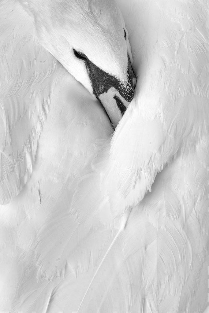 Sleepin Swan